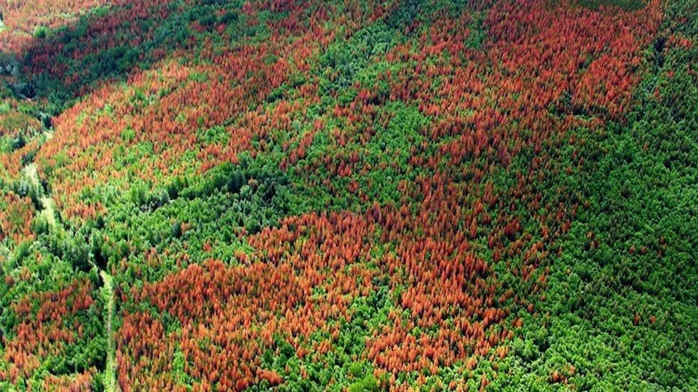 Mountain Pine Beetles: Rocky Mountain Menace